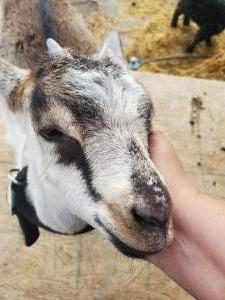 help-feed-the-goats